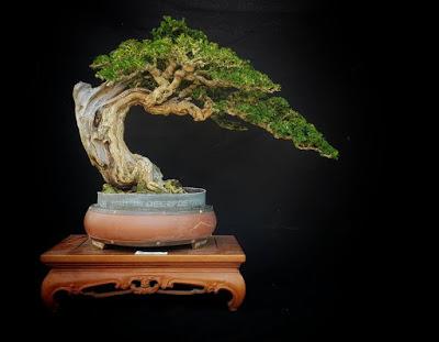 bonsai sisir
