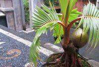 harga-bonsai-kelapa