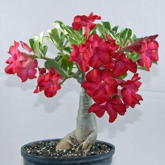 bonsai kamboja