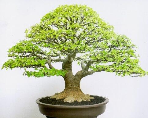 Bonsai Beringin Putih