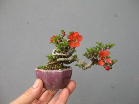 Bunga Bonsai