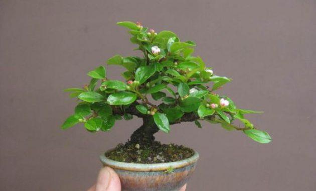 media tanam bonsai