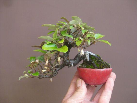 Bonsai Mini