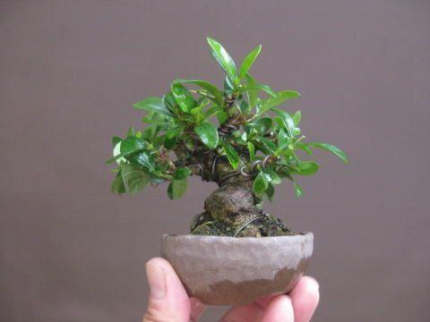 harga bonsai kimeng