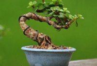 pot bonsai