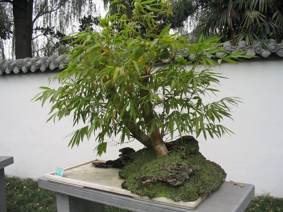 Bonsai Bambu
