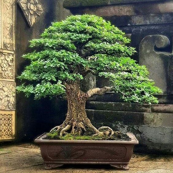 bonsai kawista