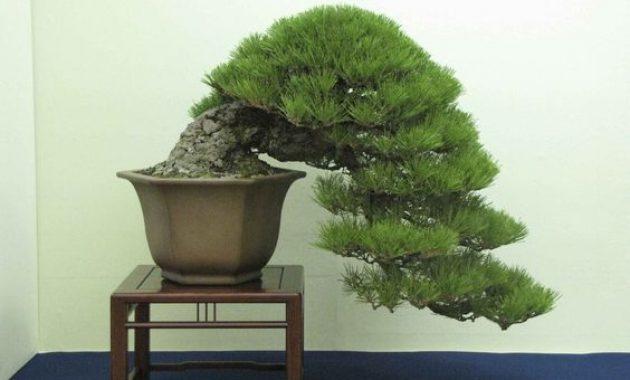Cara Merawat Bonsai Pinus