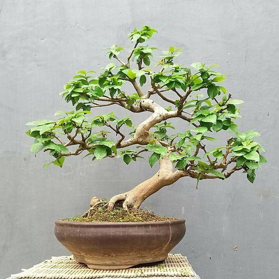 Bonsai Dewandaru